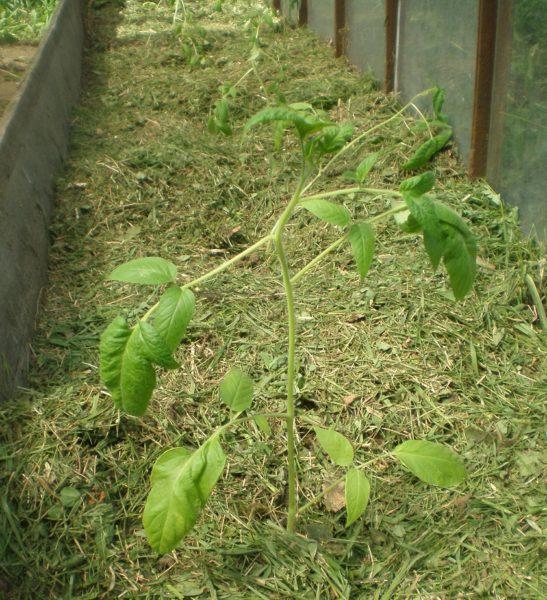 Замульчированные свежескошенной травой томаты