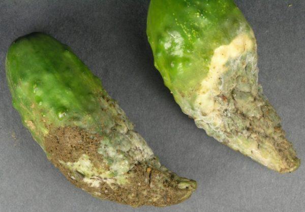 Больные грибком огурцы