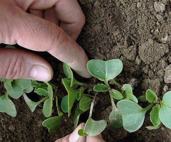 На стадии двух-трех листьев проводят прореживание посадок Маргеланской редьки