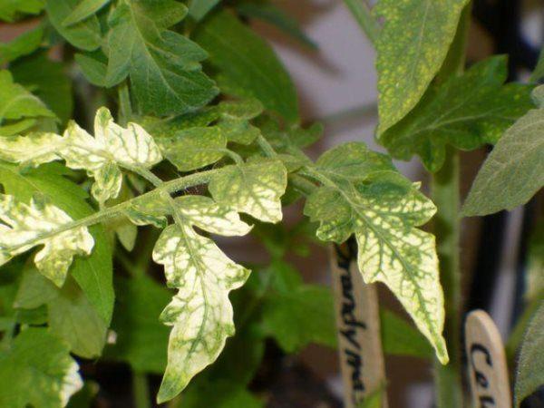 Посветлевшие листья на рассаде помидор