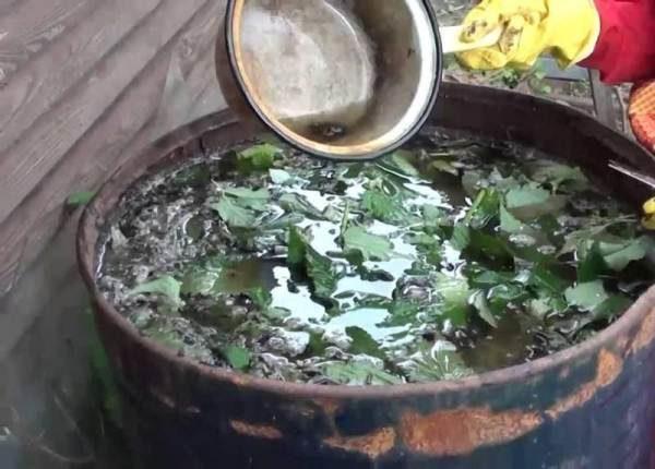 Приготовление травяного настоя из крапивы для подкормки томатов
