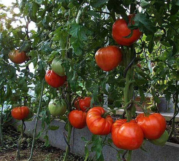 Грядка томатов в теплице