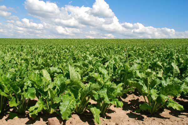 Сахарную свеклу возделывают на плодородных и черноземных почвах в теплом климате