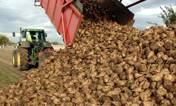Сбор урожая сахарной свеклы производится с конца сентября до середины октября