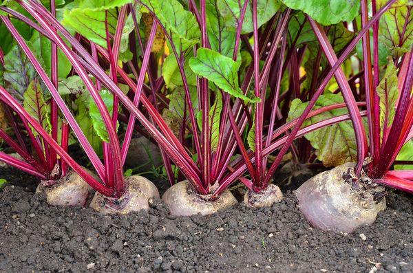 Свекла: выращивании на даче или огороде, что любит свекла, как получить хороший урожай
