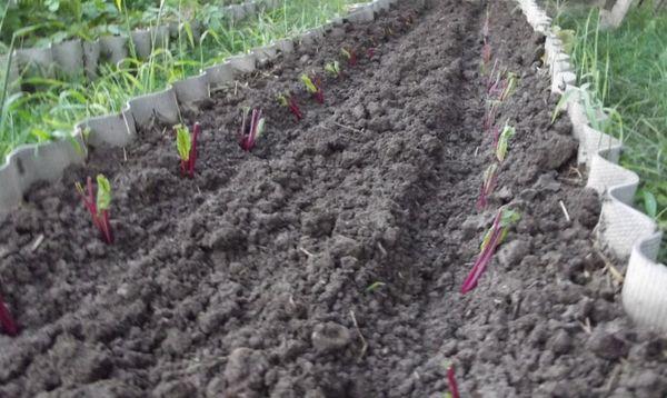 Одно из условий урожайности свеклы - соблюдение глубины заделки семян