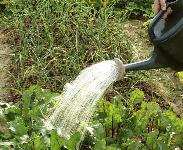 Для борьбы с болезнями и вредителями кусты свеклы обрабатывают фунгицидами