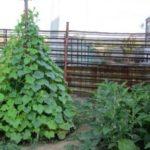 Выращивание огурцов в шатре или шалаше