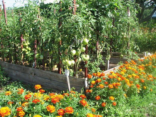 Сидераты для томата