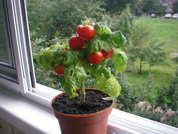 Борная кислота особенно полезна помидор, выращиваемых в домашних условиях