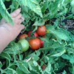 Самые лучшие низкорослые томаты