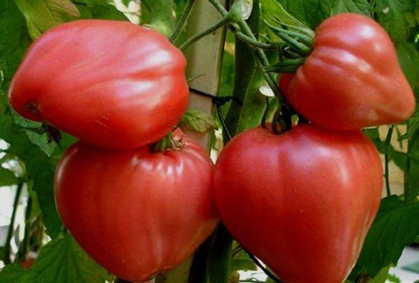Лучшие детерминантные сорта томатов для теплиц в Сибири