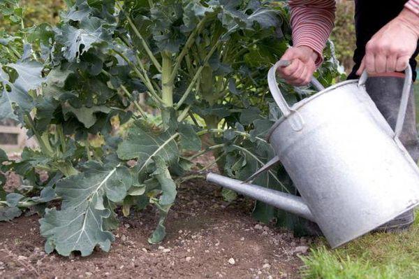 Полив брокколи осуществляется 1 раз в неделю