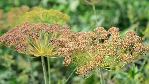 Сбор семян осуществляется когда зонтик станет сухим и коричневым