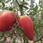 Самые высокоурожайные помидоры для теплицы из поликарбоната