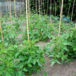 Преимущества выращивания высокорослых томатов