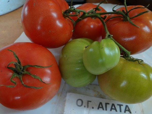 Большинство садоводов положительно отзываются о томате Агата