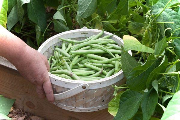 Сроки сбора урожая зависят от вида культуры