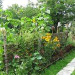 Изгородь с подсолнечником
