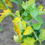 Фузариоз распространяется по томату начиная от нижних листьев