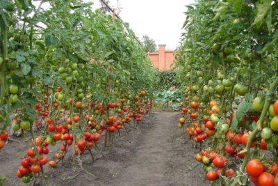 Высокорослые помидоры для открытого грунта
