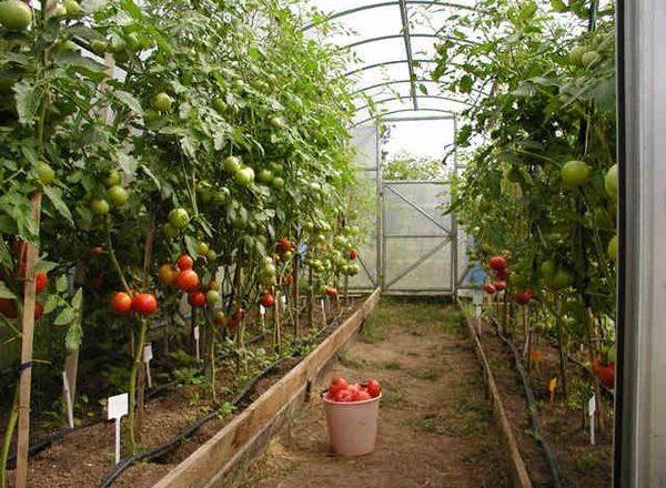 Сорта помидор для теплицы