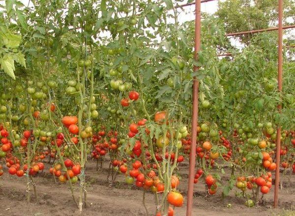 Помидоры для открытого грунта в Беларуси