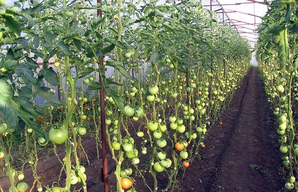 Болезни томатов в теплице
