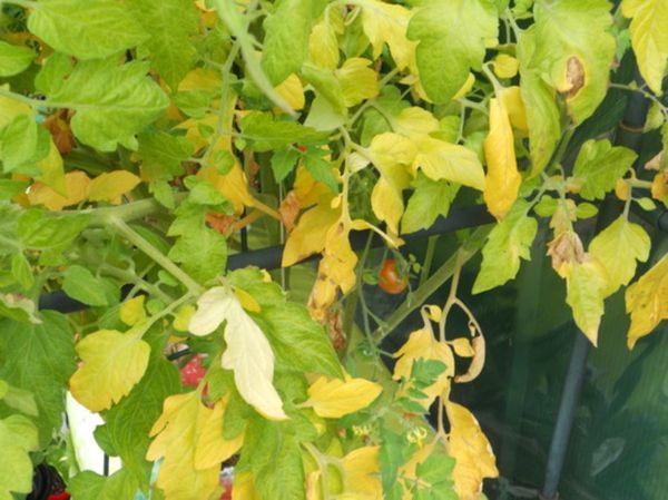 Почему желтеют листья томатов