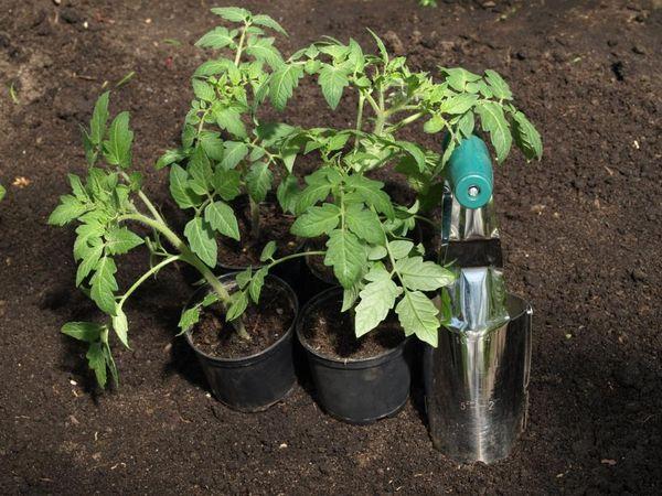 Высадка рассады томатов в теплицу производится в возрасте 55-60 дней