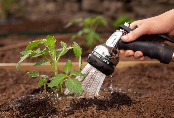 Полив помидор нужно выполнять исключительно под корень