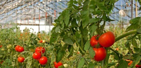 Выращивание томата шапка мономаха в промышленных условиях