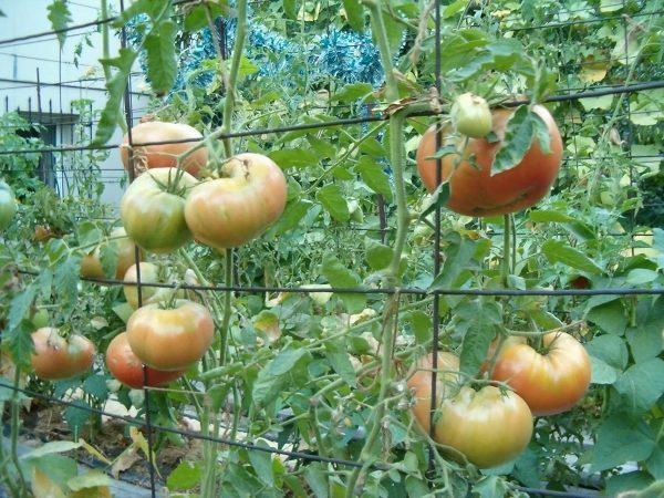 Шпалера для помидоров из металлического прута