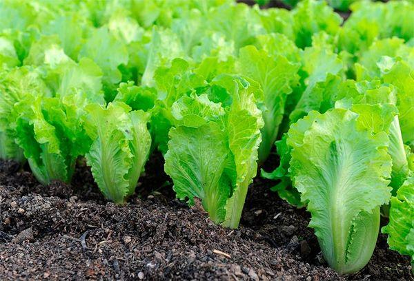 Выращивание салатов и их сорта 950