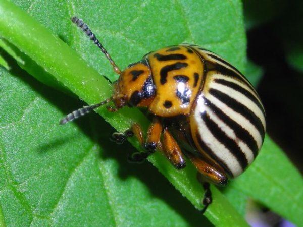 Колорадский жук крупным планом