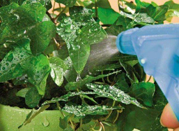Опрыскивание комнатных растений фитоспорином поможет устранить опасную микрофлору и повысит иммунитет растений