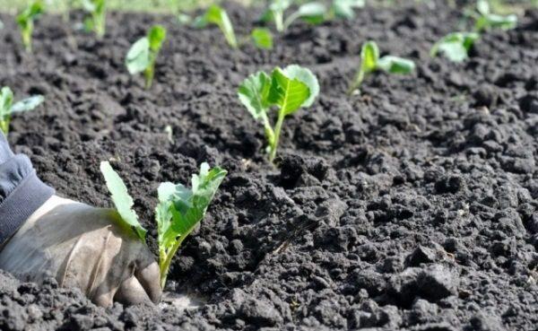 Посадка кольраби в открытый грунт рассадой 78