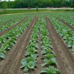 Выращивание капусты в открытом грунте спаренными рядами