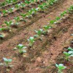 Выращивание капусты в один ряд