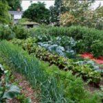 Выращивание капусты с другими овощами