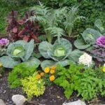 Схема уплотненной посадки капусты с другими культурами