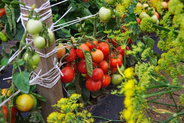 Высадка помидор в открытый грунт