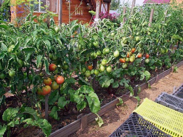 Только при правильном и своевременном уходе можно получить хороший урожай томатов