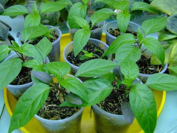 Использования народных способов для улучшения роста рассады перцев 704