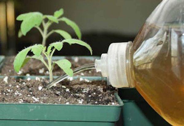 Переизбыток препаратов может отрицательно повлиять на рост рассады