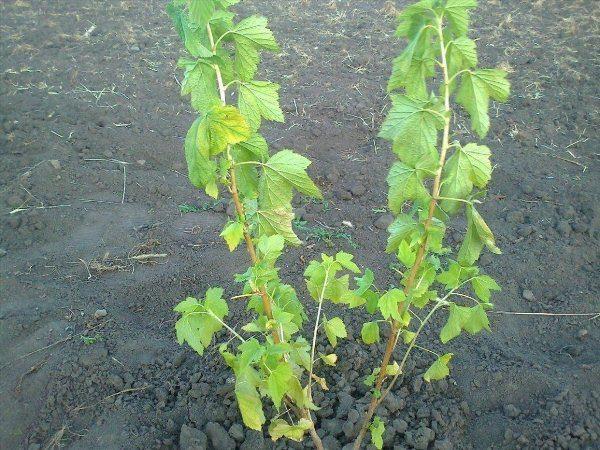 Паутинный клещ приводит приводит к обезвоживанию и засыхание листьев смородины