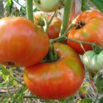Лучшие крупные сорта помидоров