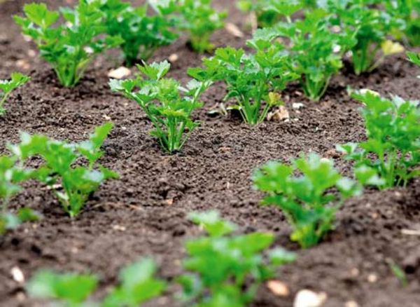Кинза хорошо развивается при расстоянии между кустами около 7 см