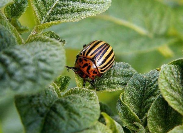 Лучшие средства от колорадского жука