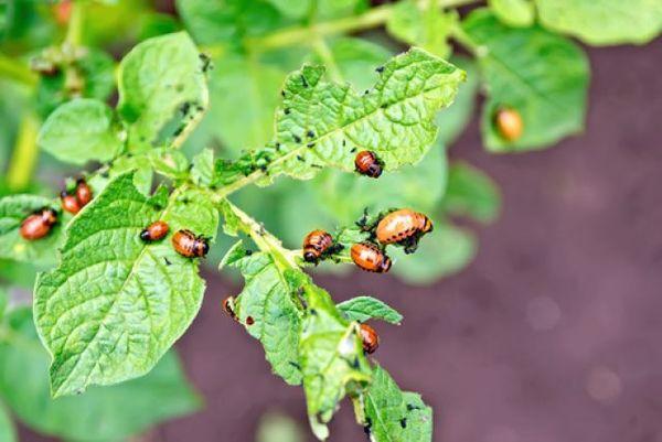 Поражение листьев картофеля колорадским жуком